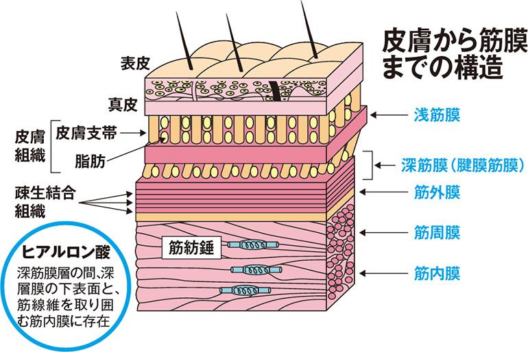 ファッシアと筋膜何が違うか。